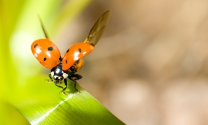 Closeup of ladybird on green grass